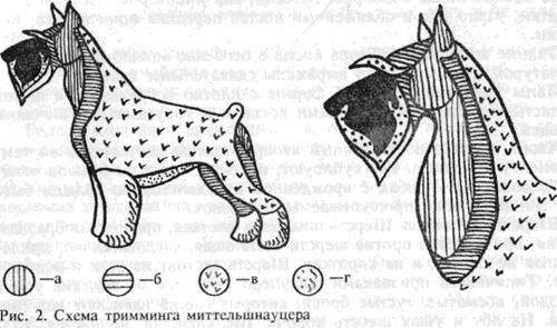 Схема тримминга шнауцера показана на рисунке ниже.  За 6—8 недель до выставки шерсть коротко подстригается ножницами...